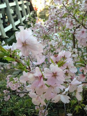 Sakura0403